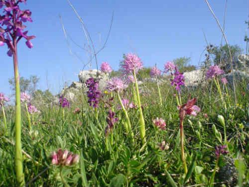 Orchidee del Gargano